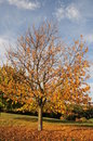 Tree in autumn Royalty Free Stock Photos