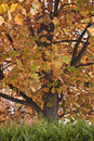 Tree With Autumn Leaves, In Th...