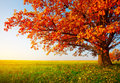 The Tree in Autumn Royalty Free Stock Photo