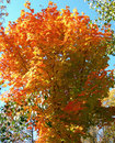 Tree in autumn trees with vibrant colored leaves against a blue september sky Royalty Free Stock Photo