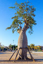 Tree baoba with supports adansonia digitata a b c Royalty Free Stock Image