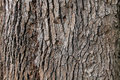 Tree bark background texture. Royalty Free Stock Photo