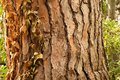 Tree Bark Background with yellow leaves Stock Photography