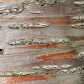 Tree bark close up Royalty Free Stock Photo