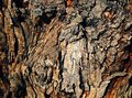 Tree bark close up of textures and colors of mature Stock Images