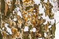 Tree bark cover with mold and moss and snow textured background Royalty Free Stock Photo