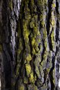 Tree bark covered with lichen