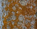 Elegant Sunburst Lichen Royalty Free Stock Photo