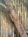 Tree bark fence abstract diagonal growing in front of a wooden in california Royalty Free Stock Photo