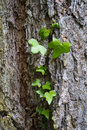 Tree bark with ivy close up of close to arco trento italy Stock Photo