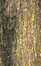 Tree bark with lichen Royalty Free Stock Photo