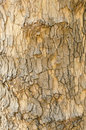 Tree bark london plane texture Stock Photography