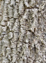 Tree bark of the longan trees Stock Photography