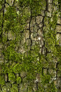 Tree bark and moss covered with different lichen Royalty Free Stock Photo