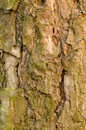Tree bark the natural pattern of the of a Stock Photography
