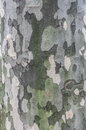 Tree bark with pattern of green and grey Royalty Free Stock Photo