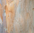 Tree bark texture �background of eucalyptus Stock Photography