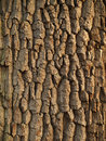 Tree bark texture close up of Stock Photography