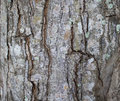 Tree bark texture close up photo. Brown and grey wood background. Royalty Free Stock Photo