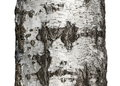 Tree bark texture isolated on white birch wood background Stock Photo