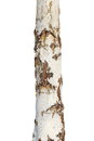 Tree bark texture isolated on white, birch wood Royalty Free Stock Photo