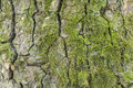 Tree Bark Texture With Moss