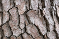Tree bark texture rough for the nature background Stock Photography