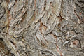 Tree bark texture, white willow (Salix alba) bark