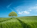 Tree in Barley Field in Dorset, UK with Blue sky and clouds Royalty Free Stock Photo