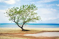Tree at beach single the Royalty Free Stock Photography