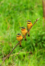 Tree Bee Eaters on the branch Royalty Free Stock Photo