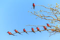 Tree with bee eaters sitting on a branch Royalty Free Stock Photo