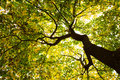 Tree from below during golden autumn time Stock Image