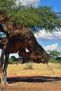 Tree with big nest. Namibia Royalty Free Stock Photo