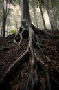 Tree with big roots in a forest in summer after rain the Royalty Free Stock Photos