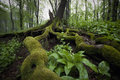 Tree with big roots with moss and green plants in a forest in summer Stock Photos