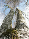 Tree (birch) with two bough in the sky (4) Royalty Free Stock Images