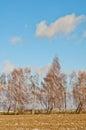 Tree of birchs on background sky Stock Photos