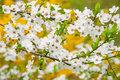 Tree in blossom blossoming cherry spring Stock Photography