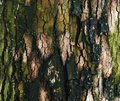 Tree bole for background Royalty Free Stock Photo