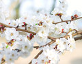 Tree branch in bloom spring Stock Images