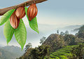 Tree branch with cacao fruits on a background of mountain landscape Stock Images