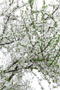 Tree branch of flowers in spring season Royalty Free Stock Images