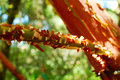 Tree Branch With Peeling Bark