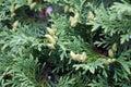 Tree branch of thuja