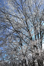 Tree branches coated in ice the pale blue sky shines through the covered every single branch is and they glisten as the sun Stock Image