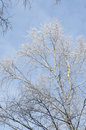 Tree branches covered with snow against blue sky on sunny day Royalty Free Stock Image