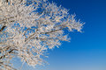 Tree branches covered with snow on background blue sky