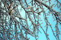 Tree branches in hoarfrost against the background of the blue sky Royalty Free Stock Photo