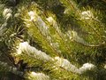 Tree branches in the snow background. Green pine branches covered with snow landscape. Close-up. Winter forest christmas scene. Royalty Free Stock Photo